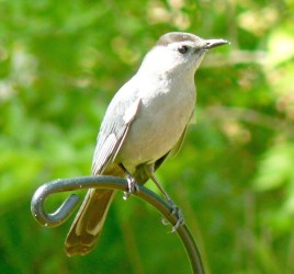 11. Gray catbird – Version 2