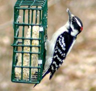 7A. downy woodpecker – Version 2