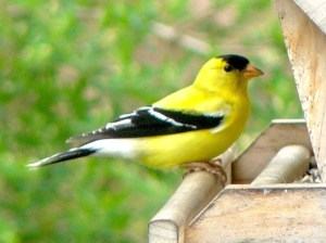 4J. Goldfinch – Version 2
