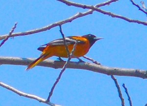 10A. BaltimoreOriole.JPG – Version 2