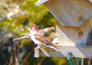 26F. Purple finch & female housefinch