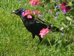 16A. crow