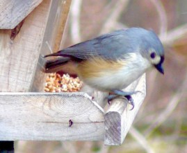 27B. tufted titmice – Version 2
