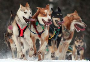 800px-Iditarod_Ceremonial_start_in_Anchorage,_Alaska