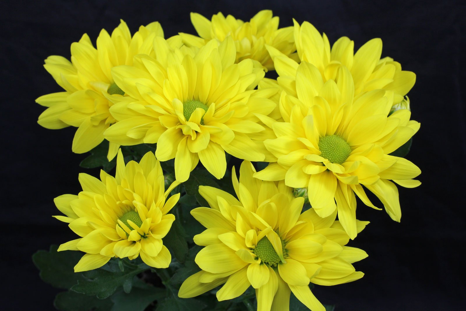 Chrysanthemum Indicum Winterhart Chrysanthemen Pflege