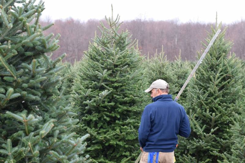 Fullsize Of Balsam Fir Christmas Tree Large Of Balsam Fir Christmas Tree ... - Pool Tie It To Locally Grown Fresh Cut Trees Syracuse Ny We Makea