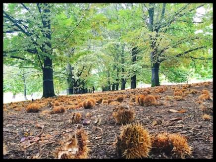 chestnut-grove
