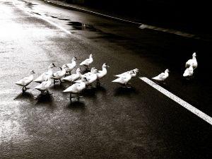 duck-crossing-904406-m