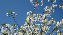 cherry-blossoms-332824_640