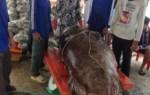Hải sản tươi sống – Bắt được Cá mú nặng 250,5 kg