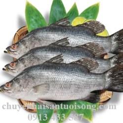 Cung cấp bán cá Vược giá sỉ lẻ tại TpHCM bao nhiêu 1 kg