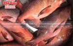 Giá mua bán cá Hồng Chuối biển hôm nay bao nhiêu 1 kg ở TpHCM