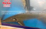 Giá mua bán cá Tầm trắng Việt Nam tươi sống ở tại TpHCM