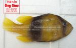 Cá sơn gà size lớn bán ở đâu – giá bao nhiêu tiền 1 kg ở TpHCM
