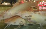 Mua cá Lăng Vàng ở đâu bán tại TpHCM – giá bao nhiêu 1 kg