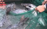 Cá hô giá bao nhiêu tiền 1 kg tại TpHCM – làm món gì ngon