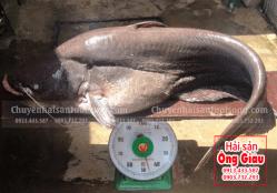 Cá lăng nha – Giá bán bao nhiêu tiền tại Tp.HCM hiện nay
