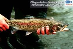 Cá hồi ở SaPa nguyên con giá bao nhiêu tiền 1kg