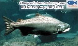 Giá cá hồi Chinook – Nơi mua cá hồi chất lượng giao hàng toàn quốc