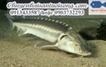 Mua cá Tầm Nga ở TpHCM – giá bán cá Tầm Nga trên toàn quốc