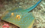 Mua cá đuối sao xanh ở đâu? Giá bao nhiêu?