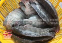 Nơi bán cá rô phi tươi sống giá tốt