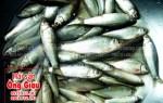 Giá bán con cá linh tươi sống nguyên con ở TPHCM hiện nay
