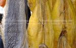 Khô cá lăn phồng Biển Hồ Campuchia bán bao nhiêu tiền 1 kg
