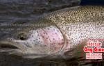 Cá hồi sống mua ở đâu tại TpHCM – giá bán bao nhiêu tiền 1 kg