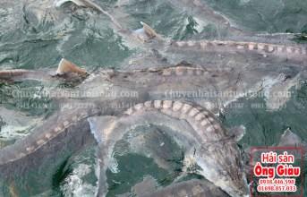 Làm sao phân biệt được cá Tầm của Trung Quốc với cá Tầm Việt Nam