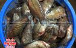 Cá Sặc Rằn – Gấm – Bướm – Điệp – Bổi bán ở đâu hiện nay – giá bao nhiêu