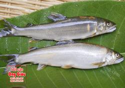 Cá Hương Nhật Bản – Ayu – bán ở đâu tại Việt Nam – giá bao nhiêu