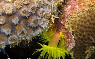 (Foto 2) O coral Montastrea cavernosa usando seus tentálculos varredores (esquerda) contra o coral-sol invasor Tubastraea tagusensis (centro) próximo do coral Siderastrea stellata (esquerda) nos recifes dos Cascos, BTS.