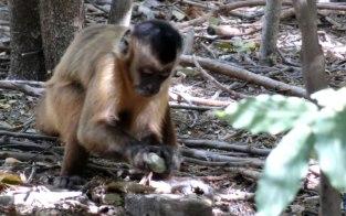 macacos-prego