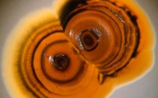 Salinifora tropica, uma das bactérias pesquisadas por Alessandra Esustáquio