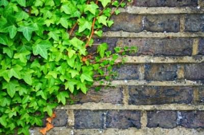 Fabulous Evergreen Groundcovers: Propogating English Ivy | DoItYourself.com