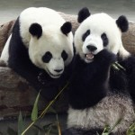 Panda reintrodotti in natura in Cina