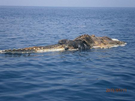 Un monstre marin dans le golfe Persique ?