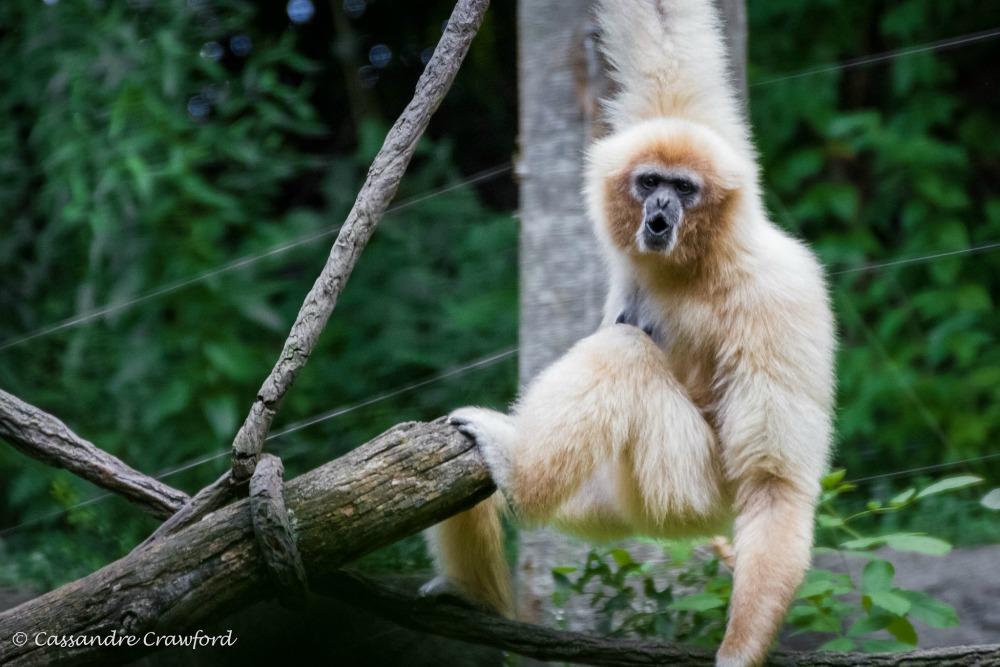 Akatsuki Hd Live Wallpaper White Handed Gibbon