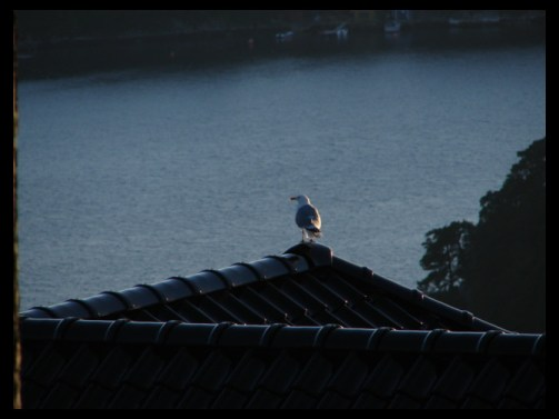 9:46 pm on July 1, 2014 - seagulls in Lysekloster, Norway