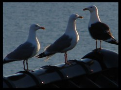 9:43 pm on July 1, 2014 - seagulls in Lysekloster, Norway