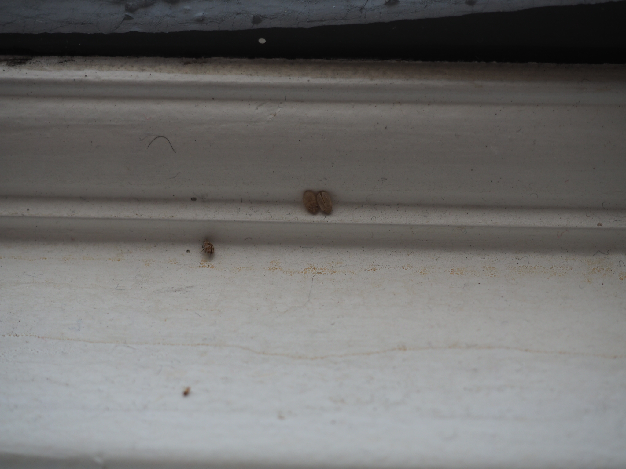 Small Brown Bugs In Kitchen Cabinets Tiny Mites On Window Sill - Garden Inspiration