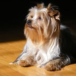 family-dog-yorkshire-terrie