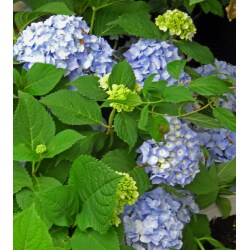 Small Crop Of Hydrangea Not Blooming