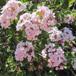 Spring… Viburnum burkwoodii