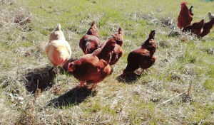 homestead chickens foraging
