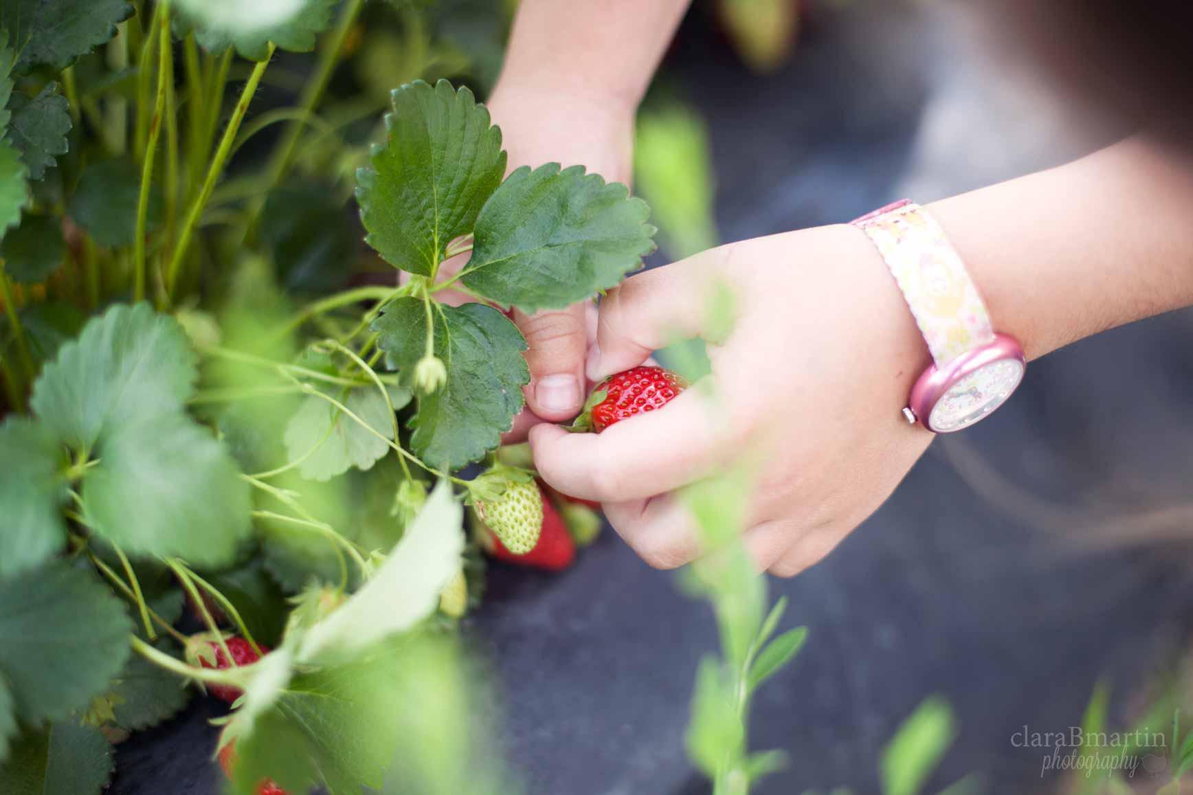 Recolecta-fresas-claraBmartin-02