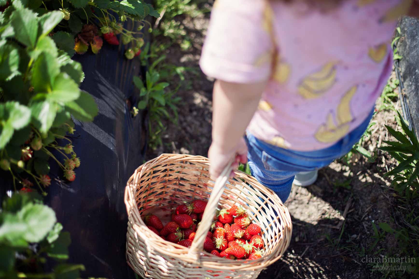 Recolecta-fresas-claraBmartin-11