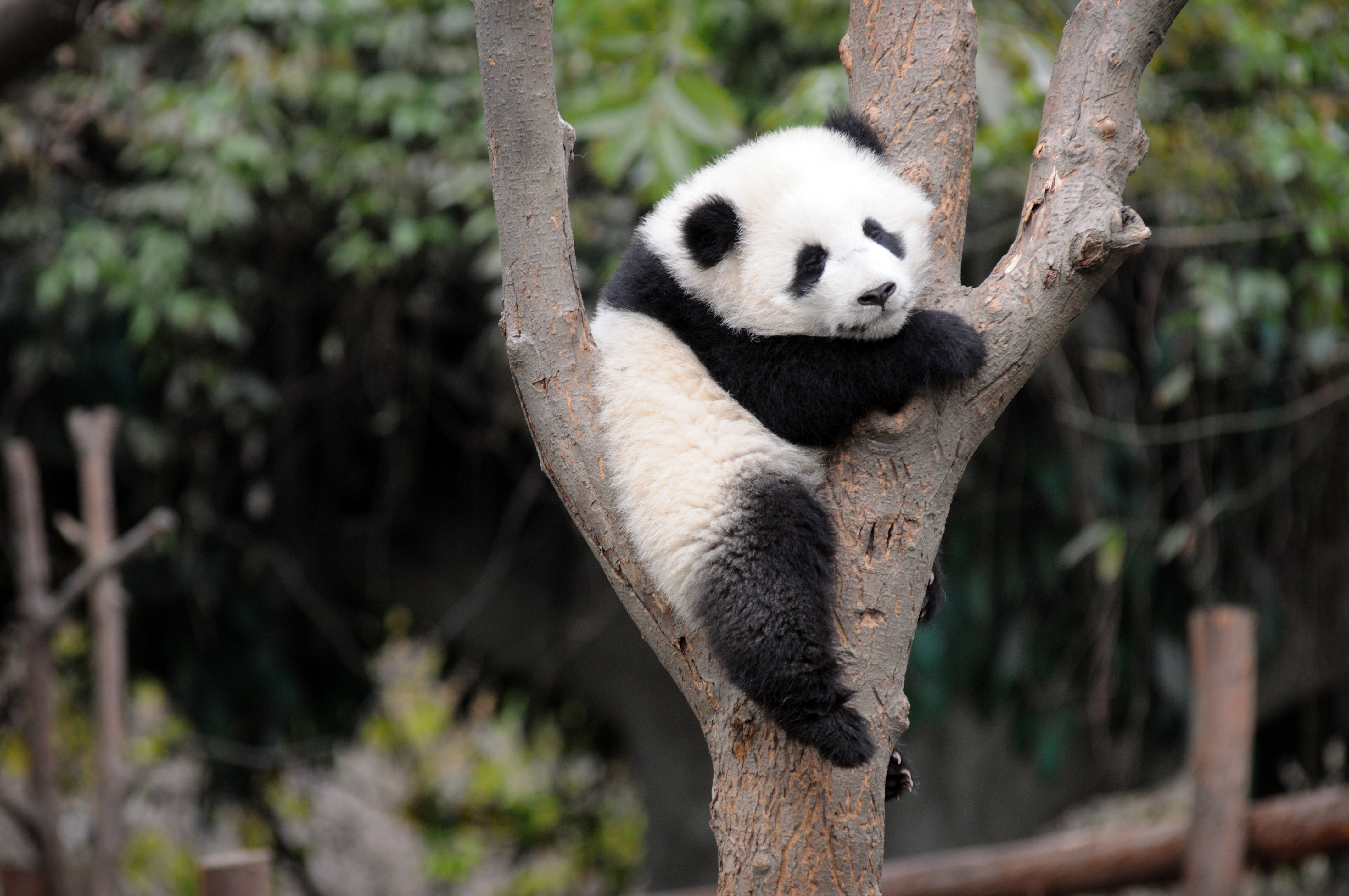Earthquake Hd Wallpaper Baby Pandas Really Are The Cutest Thing On Earth Clare