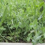 Example of Cover Crop – What is Cover Crop